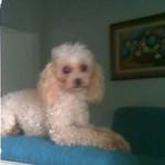 Foto da cadelinha que desapareceu